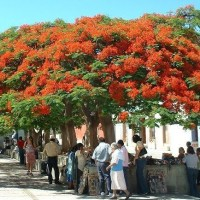 benih/biji/bibit pohon flamboyan orange