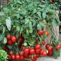 Buah Tomato Cherry F1-Red