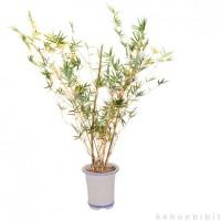 Jual Kebun Bibit Tanaman Bambu Kuning Mini Murah