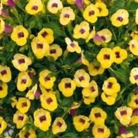 benih biji bunga torenia yellow moon