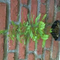 harga jual pohon rambat saga saung flora 087875539200 Tokopedia.com