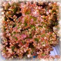 Benih Selada : Red Rapid Lettuce