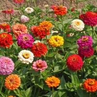 Benih/Bibit/Seed Bunga Zinnia Elegans Cocok Untuk Daerah Panas