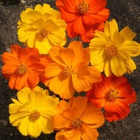 Benih/Bibit/Seed Bunga Cosmos Bright Lights Mix Bunga Orange & Kuning