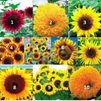 Jual Benih Bunga Matahari Import (10 Jenis ) Murah