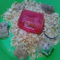 hamster golden red eye