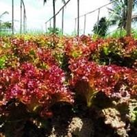 Red Lettuce - Red Rapid (Benih Bibit Selada Merah Import)