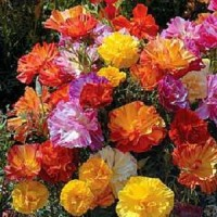 50 Benih Biji Bibit Californian Poppy Mix