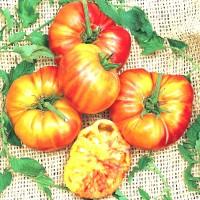 20 Benih Biji Bibit Tomato Big Rainbow