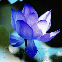 Benih / Bibit / Biji - Bunga Lotus Blue Sapphire Flower Seeds - IMPORT