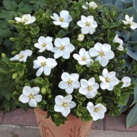 Biji Benih Bibit Gardenia (Cape Jasmine)