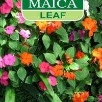 1 Pack Maica Leaf Rose Blossom (Impatiens Balsamina) - Bunga Pacar Air