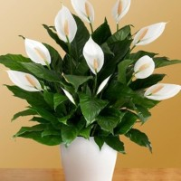 Bibit Tanaman Hidup Bunga Peace Lily