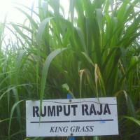 Bibit tanaman rumput raja / gajah super (Nutrisi Tinggi)