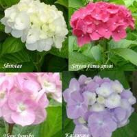 Jual Bibit Tanaman Bunga Panca Warna Murah