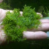 Jual Tanaman Aquascape Moss Mini Christmast Bahan Murah