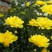 Bibit Tanaman Hidup Bunga Krisan Kuning / Yellow Chrysant Flower Plant