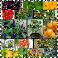 Jual Paket Benih Cabai, Tomat, Paprika dan Bunga Lavender Murah