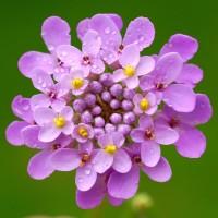 Benih / Bibit / Biji - Bunga Globe Candytuft Flower Seeds - IMPORT