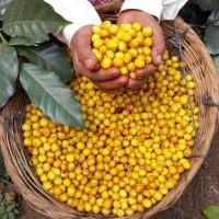 Harga mokhabika yellow caturra single origin 450 | Hargalu.com