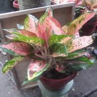 Tanaman Hias Indoor Aglaonema Pink - Murah