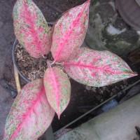 Tanaman Hias Indoor Aglaonema Pink Laila - Murah
