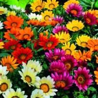 Koleksi Gambar Bunga Matahari Warna Warni Terbaik Eye Candy Photograph