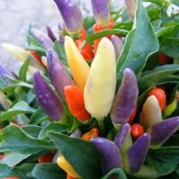 Benih / Bibit Cabai Multiwarna (Bolivian Rainbow Pepper) - IMPORT