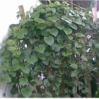 daun binahong segar 100gr