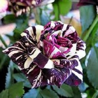 Benih Bibit Bunga Mawar Naga Hitam Import (Black Dragon Rose)