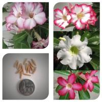 harga Bibit Benih Biji Bunga Adenium Obesum Campur - Mix Adenium Obesum Tokopedia.com