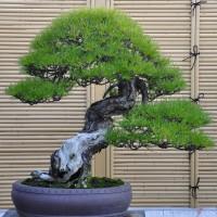 Benih Bonsai Pine Tree