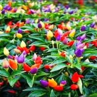 Benih/Bibit/Seeds Bolivian Rainbow Pepper/ Cabe warna warni, cabe unik