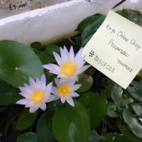Bunga Teratai / Waterlily Hasil tanam dari Benih / Bibit