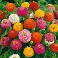 Benih/bibit/seed Grosir/Ecer Tanaman Hias Bunga Zinnia Liliput Mix