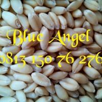 harga Benih Wheat Grass Organic Tokopedia.com