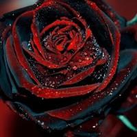 Benih Bibit Biji Bunga Mawar / True Blood Black Rose
