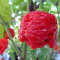 Benih / Bibit Cabe 7 Seven Pot Brain Strain Red Pepper Seeds - IMPORT