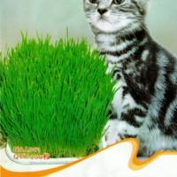 Jual Cat Grass Seeds / Bibit Rumput makanan Kucing Murah