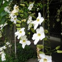 Tanaman rambat thunbergia | supplier aneka tanaman hias