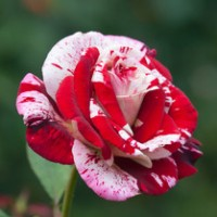 Mawar Batik Marron
