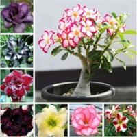 Benih Bunga Adenium Obessum Mix Campur