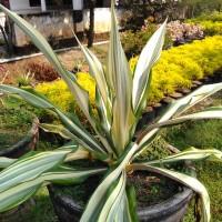 bibit tanaman agava