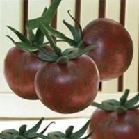Benih Bibit Buah Tomat Mini Ungu Import (Mini Purple Tomato)