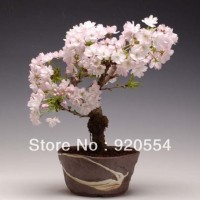 harga benih/biji/bibit bunga bonsai sakura putih Tokopedia.com
