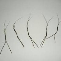 bulu /buluh perindu dari lebak banten