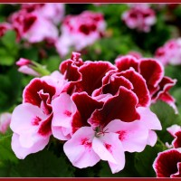 benih/biji/bibit bunga geranium