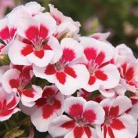 benih/biji/bibit bunga Geranium american white