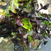 bibit tanaman puring