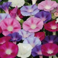 Amefurashi 15 Benih Bunga Morning Glory Grandpa Ott Vine Flower Source · Benih Bibit Biji Bunga